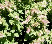 Origanum rotundifolia 'Dingle Farly' .jpg
